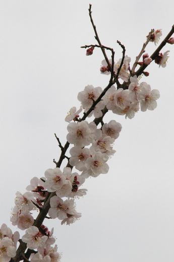 ウメ花.JPG