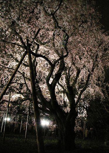 桜 2 幹.jpg