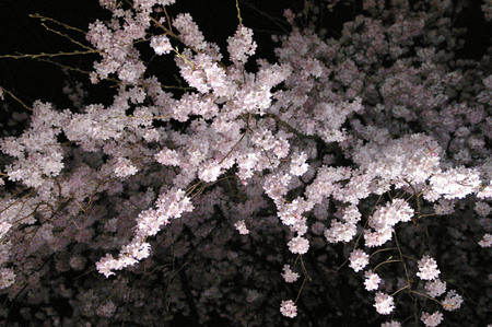 桜 3 俶・.jpg