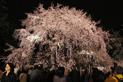 桜 正面 4.jpg