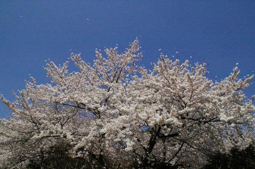 桜 全体像 2.jpg
